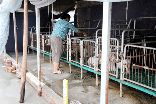 猪场经常使用的超声设备,你真的了解吗?可以用来测孕、测背膘、测眼肌...