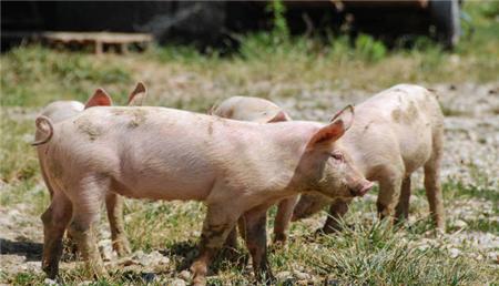 官方发布《雨季养殖场户非洲猪瘟防控技术指南》来了!这些操作养殖户都可以借鉴