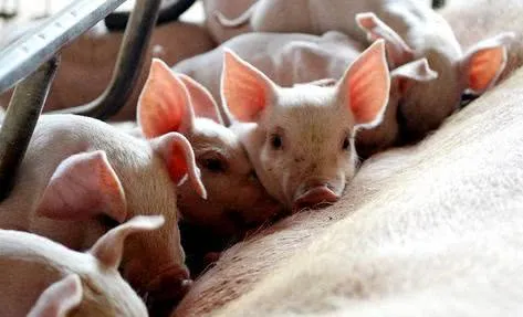 莫想高猪价,莫求低价肉,追求合理利润才是养猪业的归宿!