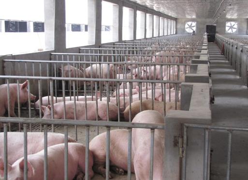 100头基础母猪(祖代)场设计方案与预算