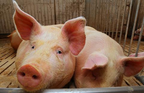 猪病用药需谨慎!禁忌药物要远离,临床用药应标本兼治