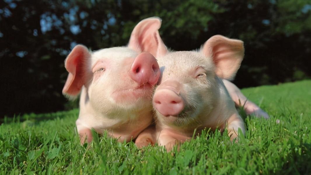 """4月27日20公斤仔猪价格,猪肉价格跌破15元,补栏仔猪是""""跳火坑""""?"""
