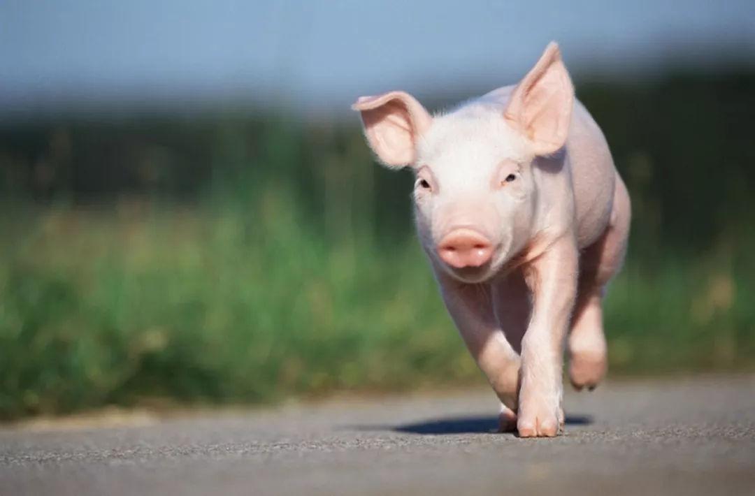 仔猪价格连跌5周,跌幅为9.38%!4月份第4周全国仔猪平均价格85.06元/公斤
