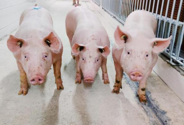 湖南长沙:打造国家生猪战略种源基地,年供种能力100万头!