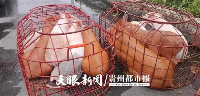 """七座面包车里竟""""挤""""了50头仔猪,无证仔猪从广东茂名运往四川宜宾!"""