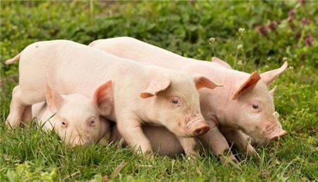 猪农看好五一猪市,但屠企备货积极性差,猪价听谁的?