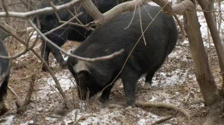 """8个品种本土种猪灭绝!我们餐桌多为""""外来猪""""?!本土""""二师兄""""去哪了?"""