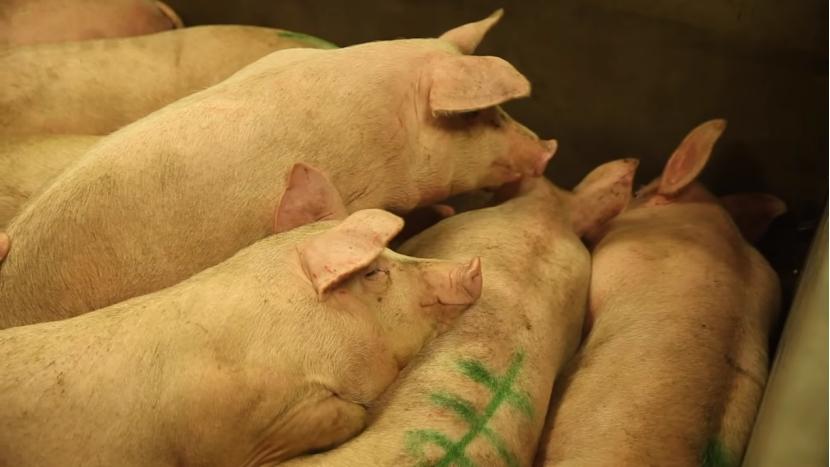 中国8000年前就养猪,现依赖进口?专家:年均进口种猪不到1万头