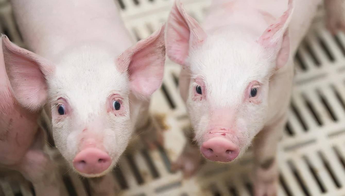 """4月28日10公斤仔猪价格,养猪利润再创新低,仔猪被迫推上""""风口""""?"""