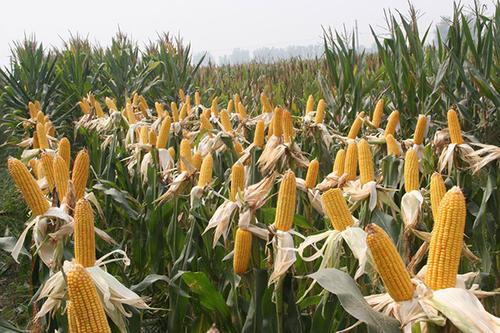 玉米价格再次触及2770元/吨,为何?未来,其价格是否会继续上涨