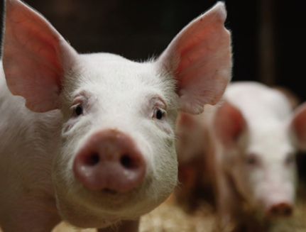 产房开口管理很重要!仔猪做好开口管理时,整窝仔猪的活力很强...