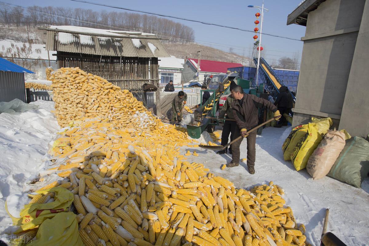 玉米缺口已补足,生猪缺口仅差4%,猪价、粮价大势已去?解读来了