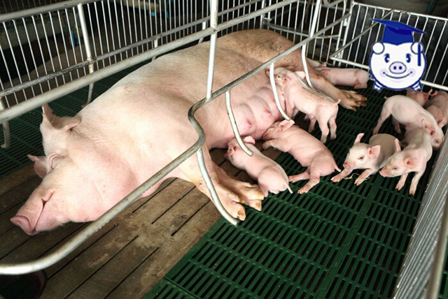 牢记这些养殖技术,保你一窝小猪全部活蹦乱跳!