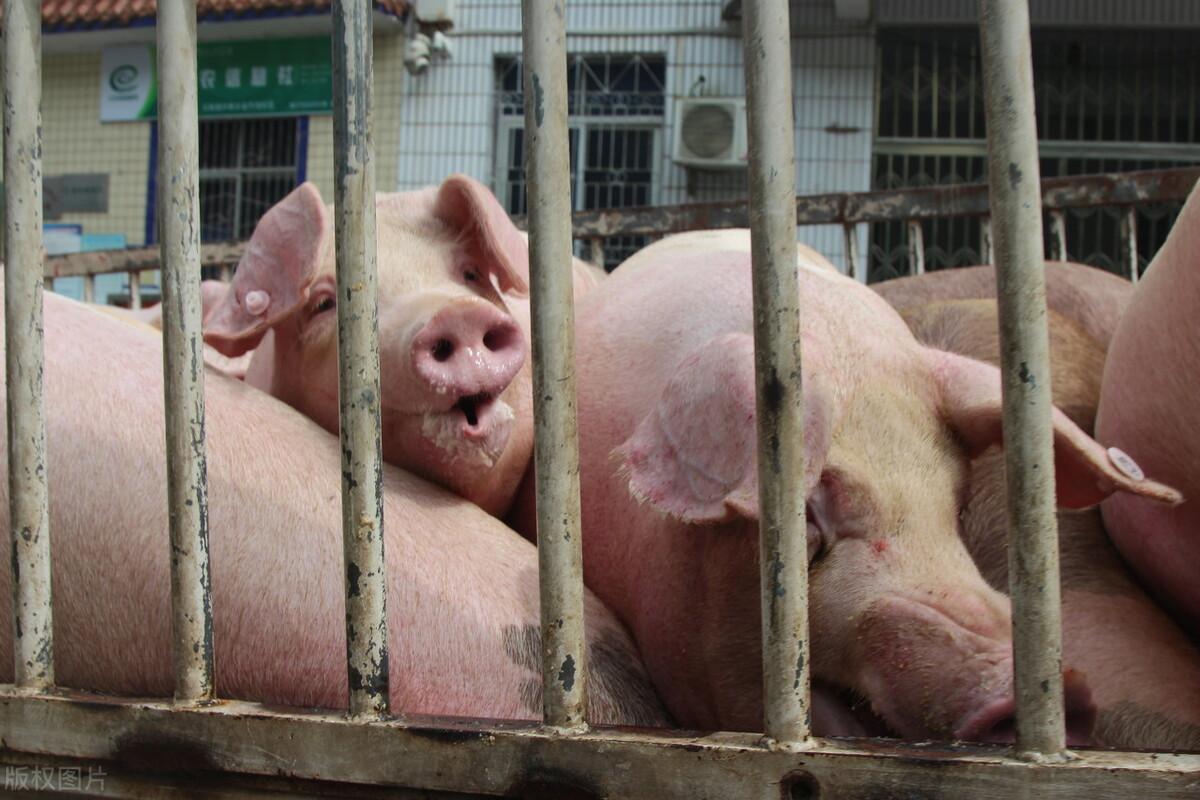 猪价暴跌6元后,一头猪现在能赚多少钱?看养猪老农算的这笔账