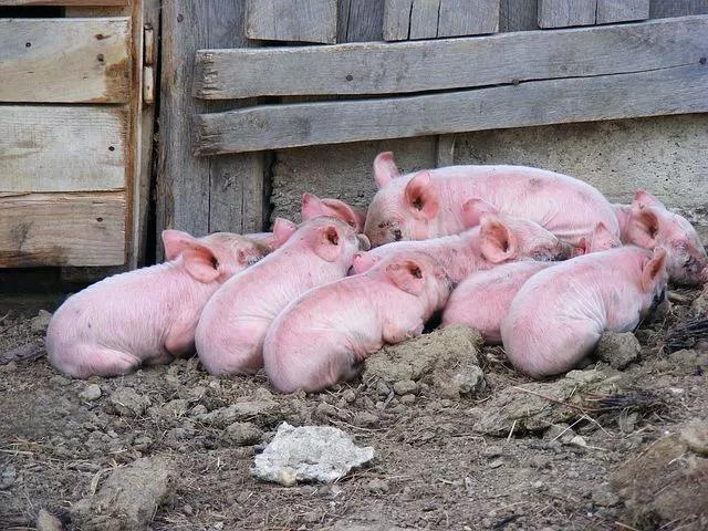 2020年美国是最大猪肉出口国,那么美国养猪业发展怎么样呢?