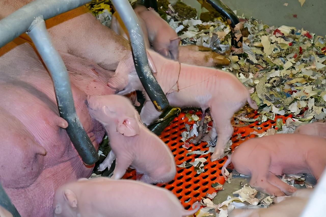 仔猪寄养,增加仔猪成活的同时,还有相关其他问题