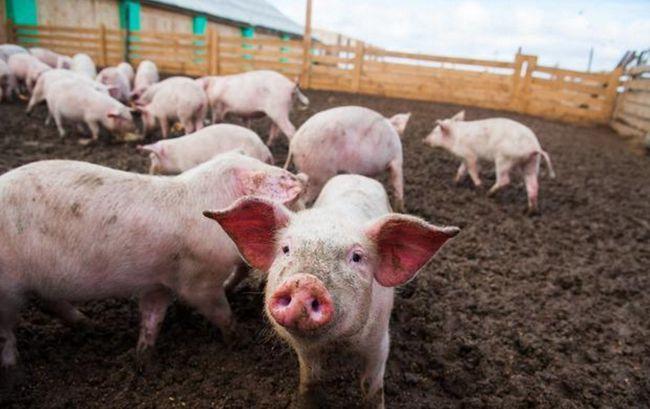 那些95%的高受胎率的猪场,是如何做到的?