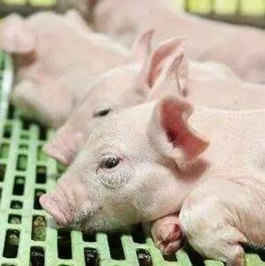 案例分析——二胎母猪产活仔数竟然少于头胎,是怎么回事呢