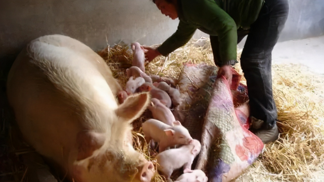 母猪突然瘫痪了,到底是怎么回事?又该如何进行防治呢?