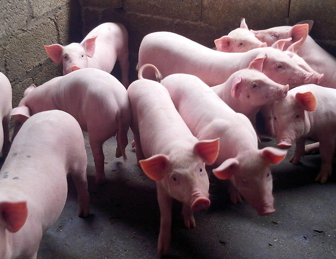 如何提高仔猪成活率?提高仔猪成活率的最有效方法,从这几点入手