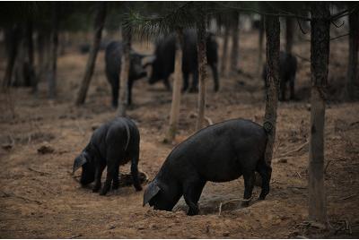 """餐桌上90%都是""""外来猪""""?本土猪种面临生存危机,要走向市场还需品牌化!"""