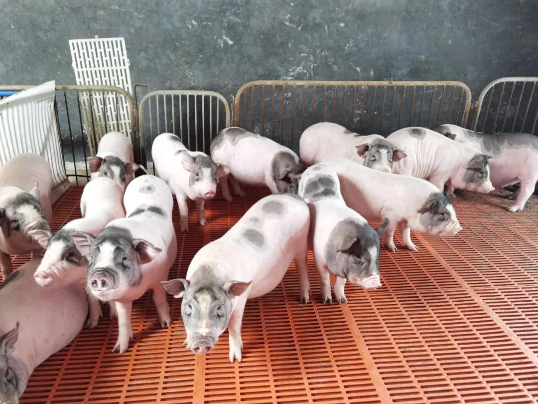 专家:未来世界的种畜禽市场中,会有粤系品种的一片天地