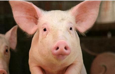 图解母猪体况评分标准,发挥母猪最强产能