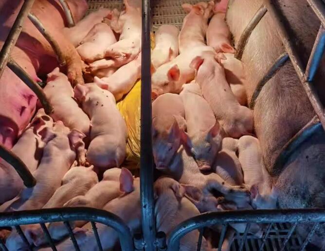 从一个案例里分析:母猪战略对于猪场下半年的盈利影响!