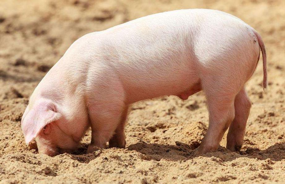 2021年05月06日全国各省市种猪价格报价表,餐桌上90%都是外来猪,本土猪接连灭绝?
