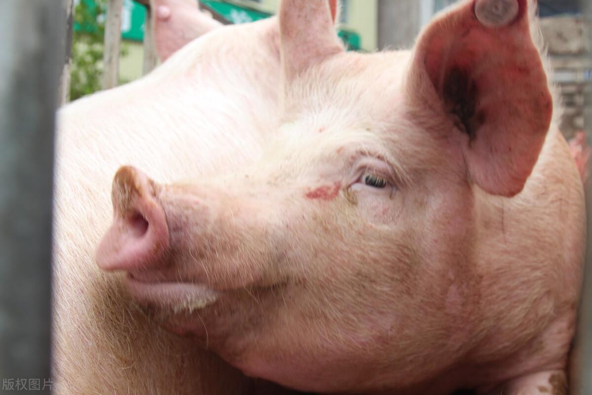 剖析!两广、云贵川的猪价为何会比华东猪价还低?
