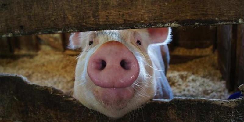 母猪栏舍温度控制很重要,养猪人要控制好!