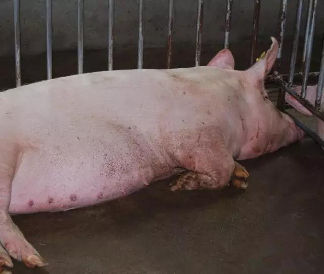 母猪产后瘫痪的原因...从源头上控制让母猪不再瘫痪!