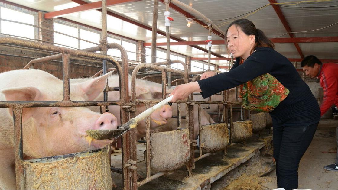 5月11日15公斤仔猪价格,母猪过剩,仔猪泛滥,今年养猪不行了?