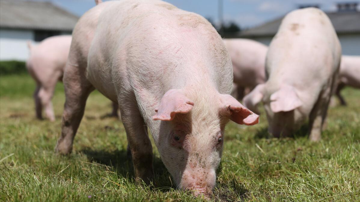 养猪成本飙升,猪价下跌到个位数,图谋自救却无效,该怎么办?