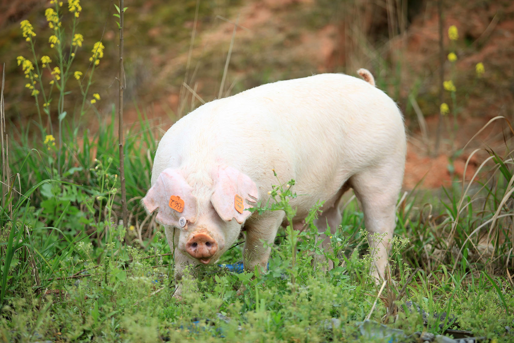 2021年05月11日全国各省市外三元生猪价格,生猪价格蛮横下跌,多重打压下何时能脱离谷底?