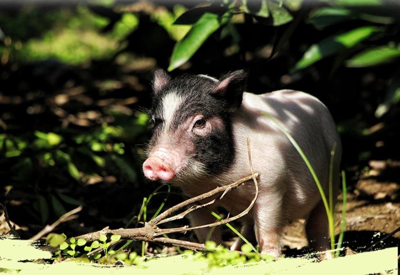 大跨越!地方猪肥膘、高繁殖力特异基因被发现!梅山猪高质量基因组图谱中国科学家成功绘制!