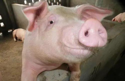 为什么有的猪场头胎母猪发情难、淘汰率高?