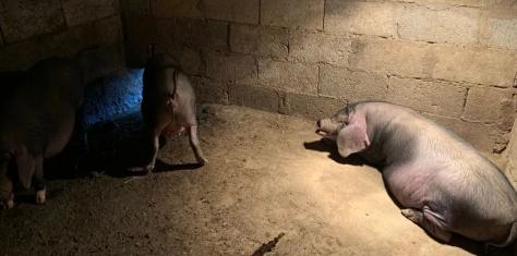如何让猪在固定的地方排泄?养猪师傅透露秘密,原来猪也挺聪明的