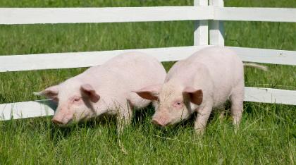 近一年新低!牧原4月商品猪均价跌至21元/公斤,猪肉股失速