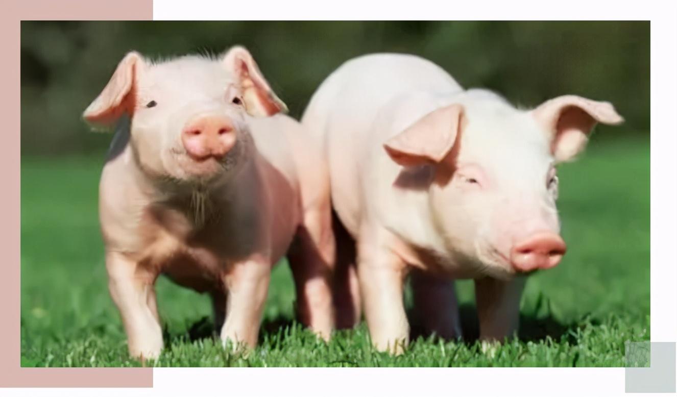 """国内养猪业""""新旧时代""""的分界线,你知道是什么吗?"""