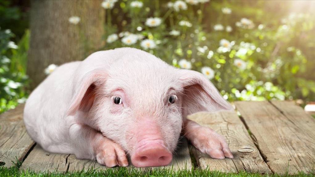 5月12日20公斤仔猪价格,仔猪市场不妙,能回归到正常年份价格?
