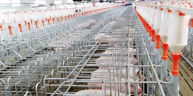 猪场要想长期稳定提升,必须学会新建猪场第一年引种量的计算
