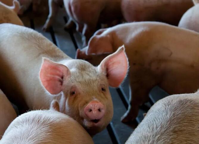 扶持生猪产业再出实招:凡是从汉滨区生猪繁育场购买仔猪的给予产业奖金1000元