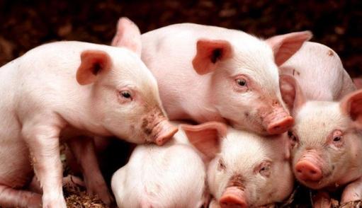 生猪期货跌跌不休养殖利润已面临亏损,该如何看待?