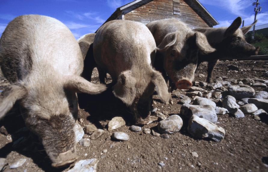 这个地方不得了!每人年均将吃一头猪!