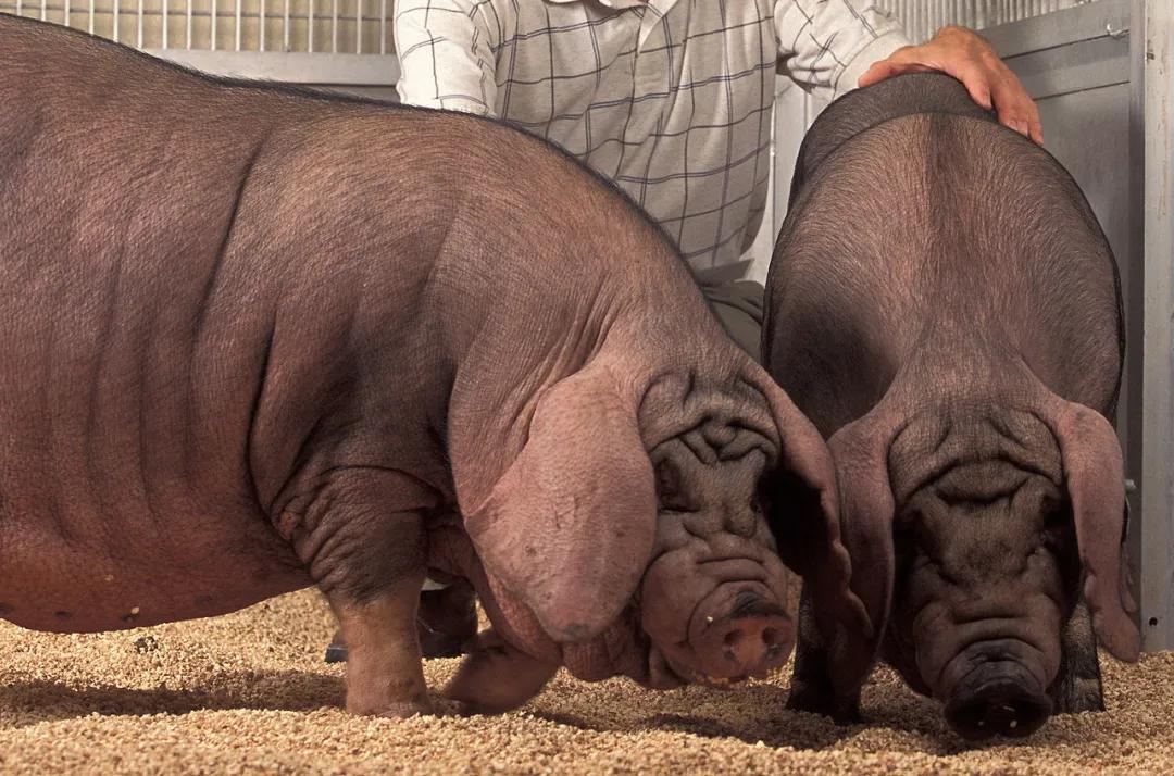 中国农业科学院:梅山猪高质量基因组图谱完成绘制!