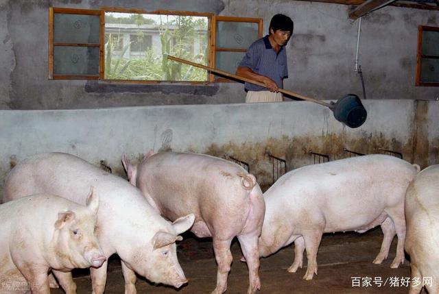 养猪业大浪淘沙:小散户或成行业泡沫,规模者负重前行