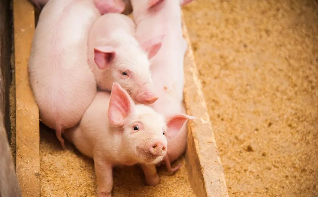 猪价跌跌不休、何时是个头?朱增勇:6、7月触底、8月出现季节性回升!