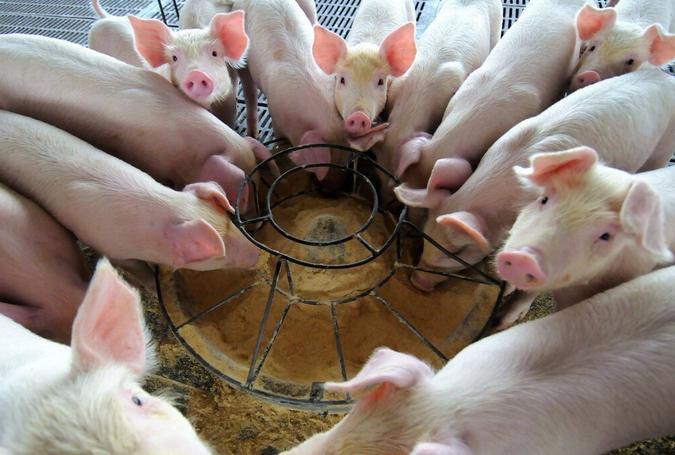 断奶仔猪正确的饲喂方式?断奶仔猪怎么喂?注意这几点