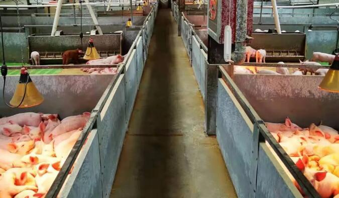 【管理】规模猪场各类猪只标准饲喂程序!